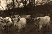 Chillingham, the Famous White Cattle - Click for bigger image